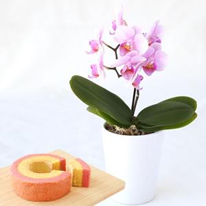 母の日 花種類 ミニ胡蝶蘭 ココロ
