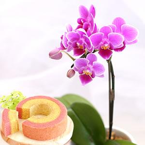 母の日 花種類 ミニ胡蝶蘭 ピコ