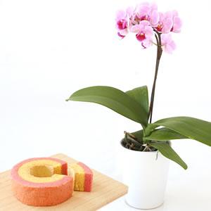 母の日 花種類 ミニ胡蝶蘭 シャオユウ