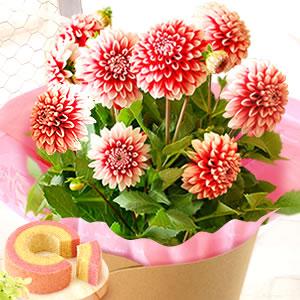 母の日 花の種類 タンピコ