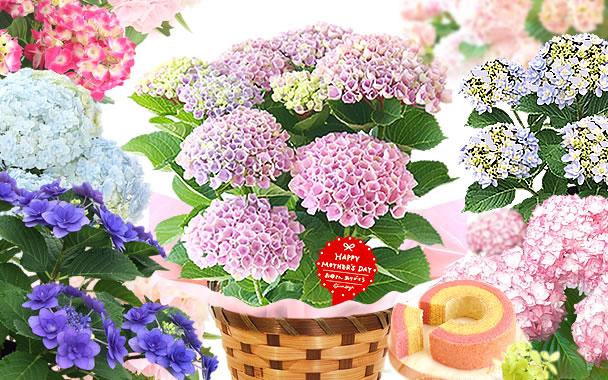 母の日 2021 あじさい花鉢 鉢植え スイーツ