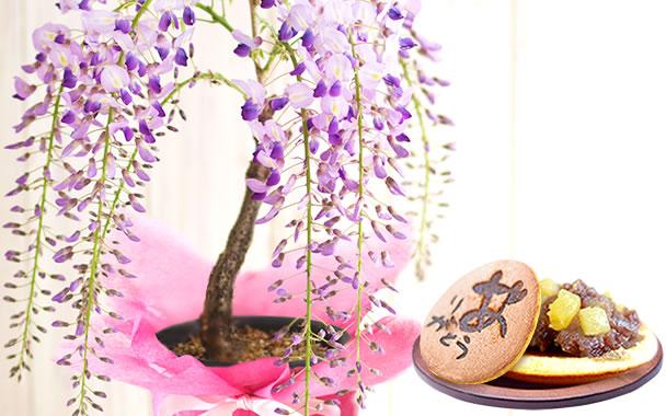 母の日プレゼント 盆栽 藤(一才藤)