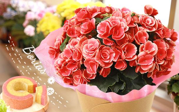 母の日 花の種類 花ベコニア ボリアス