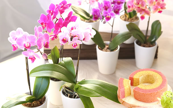 母の日 カーネーション以外 花種類 胡蝶蘭