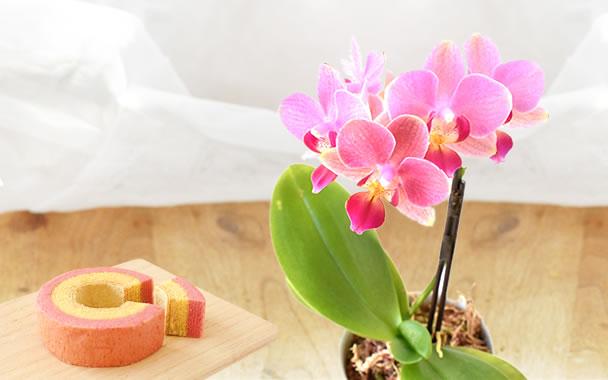 母の日 花種類 ミニ胡蝶蘭 レニー
